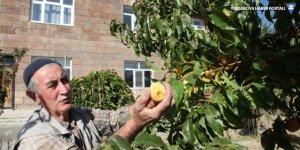 Ahlat'ta şeftali ağacı hasadının ardından ikinci kez meyve verdi