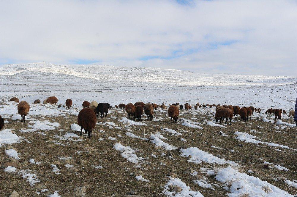 Dondurucu soğuğa rağmen hayvanlarını otlatıyor