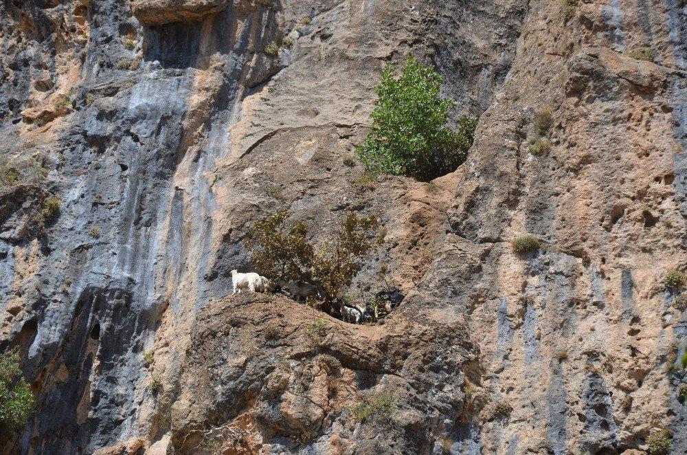 Kayalıklardan düşen sürü telef oldu