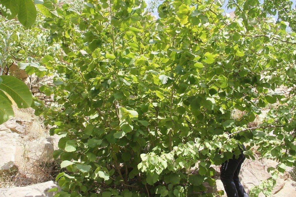 2400 rakımlı Başkale'de fındık ağaçlarından ürün aldı