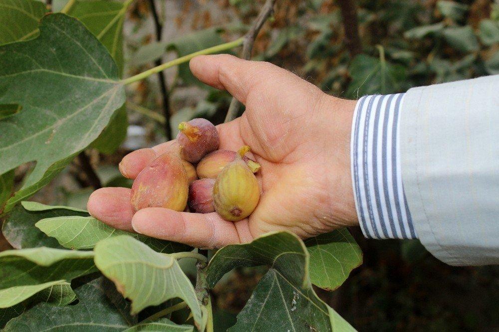 Van'da incir yetiştirildi