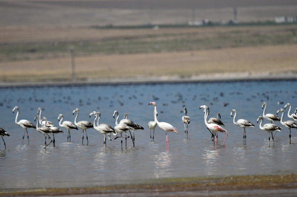 Flamingolar Arin Gölü'nü mesken tuttu