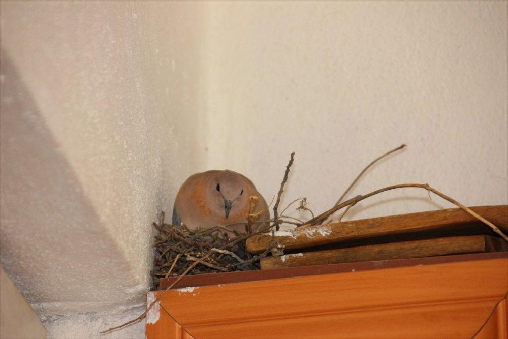 Balkonlarına yuva yaparak kuluçkaya yatan kumrulara özel ilgi
