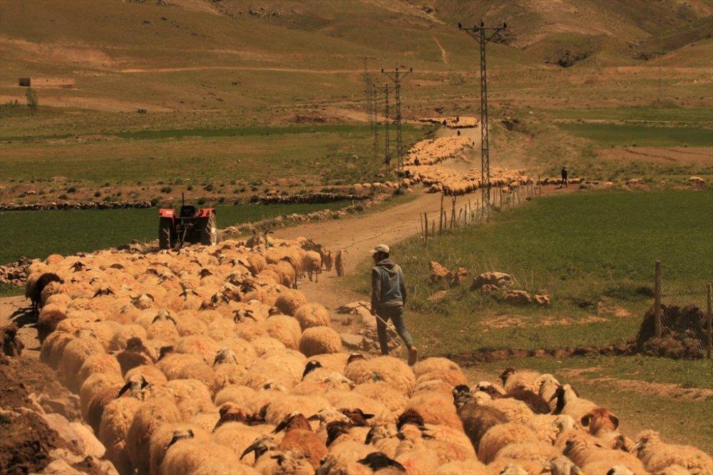 """Koyun sürülerinin meralara """"tozlu yolculuğu"""""""