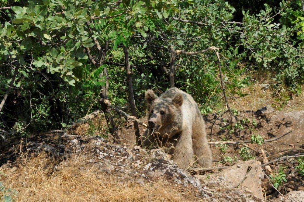 Çukurca'da ayağı tele takılan ayı kurtarıldı