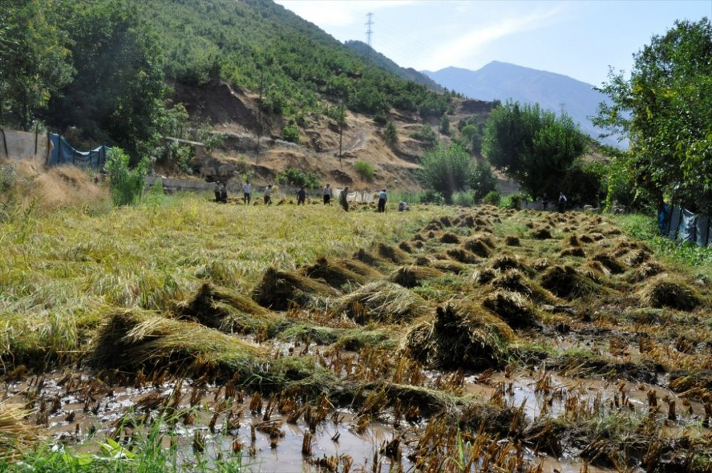 Çukurca'da çeltik hasadına başlandı