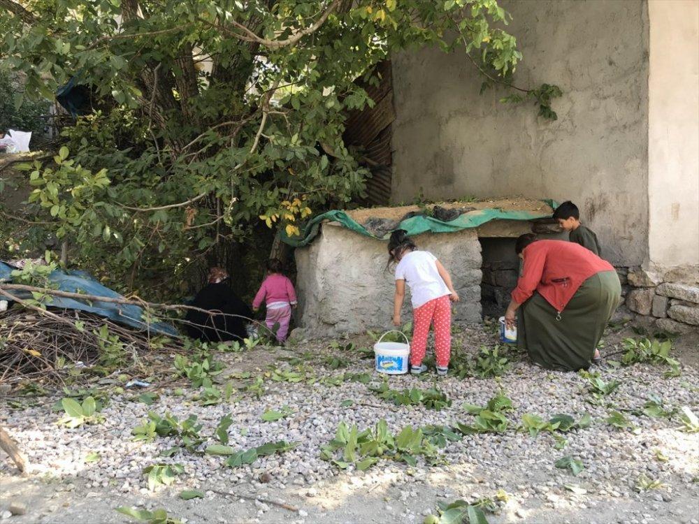 Şemdinli'de ceviz hasadına başlandı