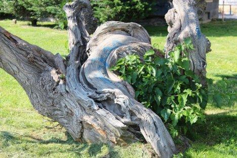 Asırlık Dut Ağacı Görenleri Şaşırtıyor