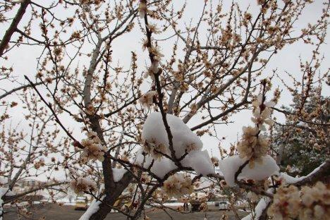 Çiçek Açan Ağaçlara Kar Yağdı