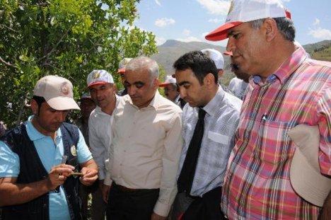 Hakkari Dağlarındaki 65 Bin Menengiç Ağacına Antep Fıstığı Aşısı Yapıldı.