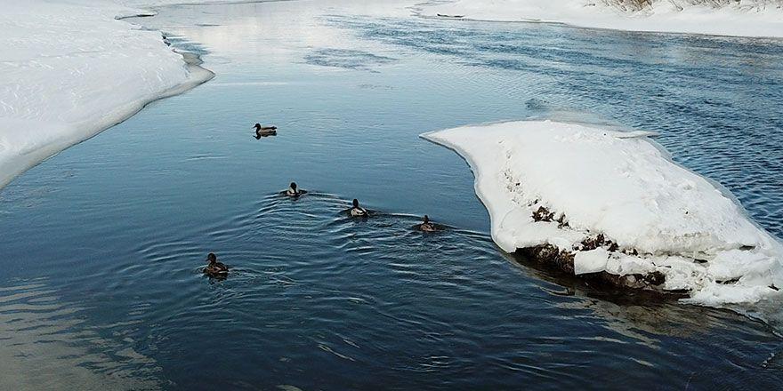 Yaban ördekleri dondurucu soğuğa rağmen Yüksekova'yı mesken tuttu
