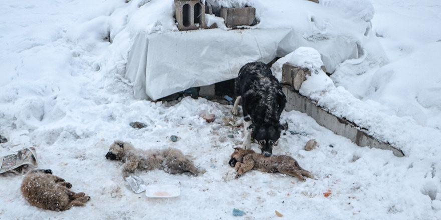 Yüksekova'da yavru sokak köpekleri bir bir ölüyor